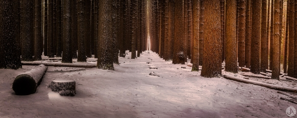 Sugar Pine Forest - NSW